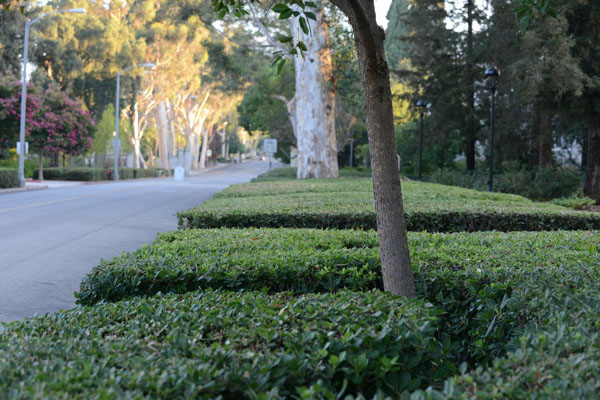 The branching oaks of The Wash and grassy wonder of Marston Quad may get more attention, but the pittosporum hedge on College Avenue is a big part of campus. Photo by Carrie Rosema.