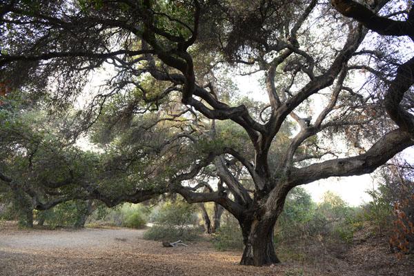 oaktrees1