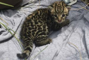 The first confirmed ocelot kitten at the refuge in 20 years. (U.S. Fish and Wildlife Service photo)