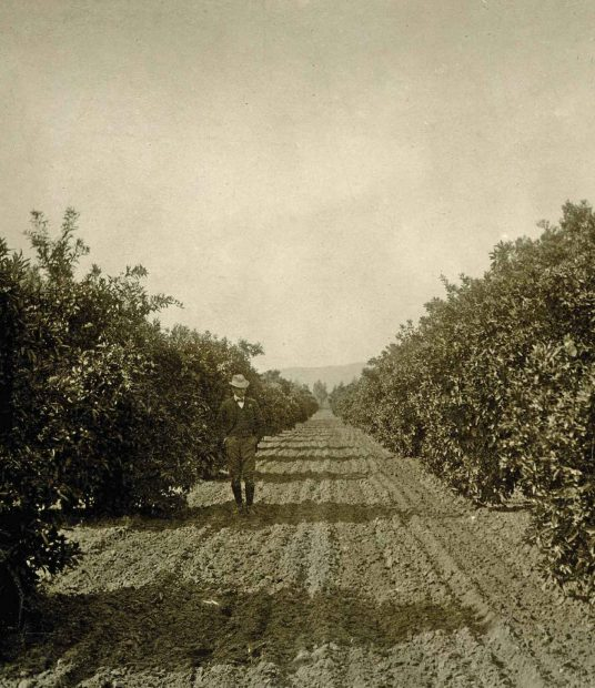 A well-dressed Claremont citrus grower poses among his trees in this undated photo from the Boynton Collection of Early Claremont, Honnold-Mudd Library.