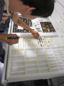 Intern Emily Petro '21 sorts and labels arrowheads from the Native American Collection.